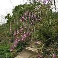 Dierama pulcherrimum, Nhu Nguyen