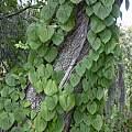 Dioscorea bulbifera, Forest & Kim Starr, CC BY 3.0