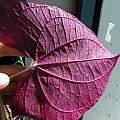 Dioscorea discolor, leaf, Nhu Nguyen