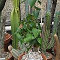 Dioscorea mexicana, Nhu Nguyen