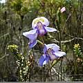 Disa graminifolia, Napier, Cameron McMaster