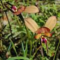 Diuris sp. William Bay, Bob Rutemoeller