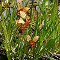 Diuris sp. William Bay, Mary Sue Ittner
