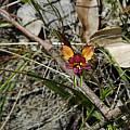 Diuris longifolia, Kalgan River, Mary Sue Ittner