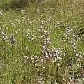 Diuris punctata, Yengo National Park, Andrew Harvie
