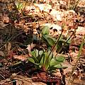 Dodecatheon hendersonii in bud, Travis Owen