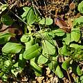 Dodecatheon hendersonii leaves, Mary Sue Ittner