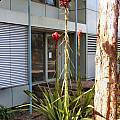 Doryanthes excelsa, Peter Thomson