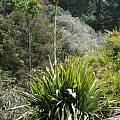 Doryanthes excelsa, UC Botanical Garden