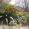 Doryanthes palmeri, UC Botanical Garden