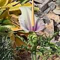 Dracunculus vulgaris, Cretan color variation, Gianluca Corazza
