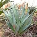 Drimia altissima, Nicholas Wightman