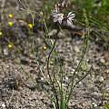 Drimia filifolia, Christopher Whitehouse