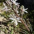Drimia filifolia, Cameron McMaster