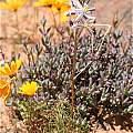 Drimia multifolia, Kamiesberg, Andrew Harvie