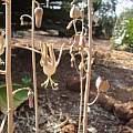 Drimia zambesiaca, Lilayi, Nicholas Wightman