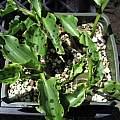 Drimiopsis maculata, Nhu Nguyen