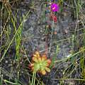 Drosera aliciae, Christopher Whitehouse