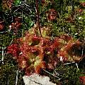 Drosera cistiflora,  Tulbagh, Mary Sue Ittner