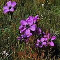 Drosera cistiflora,  Tulbagh, Mary Sue Ittner
