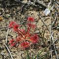 Drosera leaves, Stirling Range National Park,  Mary Sue Ittner