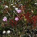 Drosera menziesii, William Bay, Mary Sue Ittner