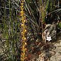 Drosera spp., Stirling Range National Park,  Mary Sue Ittner