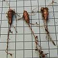 Dudleya blochmaniae corm, Mary Sue Ittner