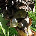 Ensete lasiocarpum, Missouri Botanical Garden, Nhu Nguyen