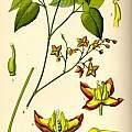 Epimedium alpinum Linnaeus