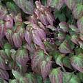 Epimedium grandiflorum, May 2009, Jerzy Opioła