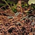 Epimedium grandiflorum 'Purple Pixie' new growth, March 2015, Travis Owen