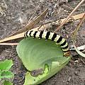 Eriospermum Amaryllis worm, Cameron McMaster
