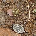 Eriospermum corymbosum bud with coin, Andriesberg, Bob Rutemoeller