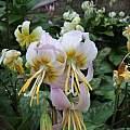 Erythronium 'Ruapuna Dawn', Ian Young