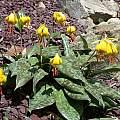 Erythronium americanum, John Lonsdale