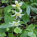 Erythronium californicum, Mary Sue Ittner