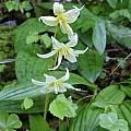 Erythronium californicum, Mary Sue Ittner