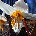 Erythronium caucasicum, John Lonsdale [Shift+click to enlarge, Click to go to wiki entry]