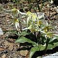 Erythronium helenae, UC Botanical Garden