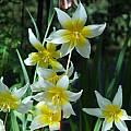 Erythronium helenae, Mary Sue Ittner