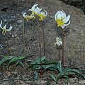 Erythronium helenae, Lake County, Mary Sue Ittner