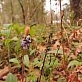 Erythronium hendersonii, Travis Owen