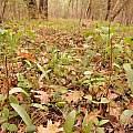 Erythronium hendersonii leaves in the understory, Travis Owen