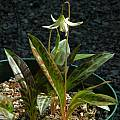 Erythronium howellii,  Mary Sue Ittner