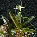 Erythronium howellii,  Mary Sue Ittner