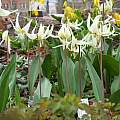Erythronium idahoense, Ian Young [Shift+click to enlarge, Click to go to wiki entry]