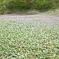 Erythronium japonicum, Mari Kitama