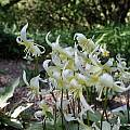 Erythronium multiscapideum, UC Botanical Garden