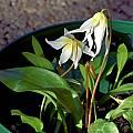 Erythronium multiscapideum, Mary Sue Ittner